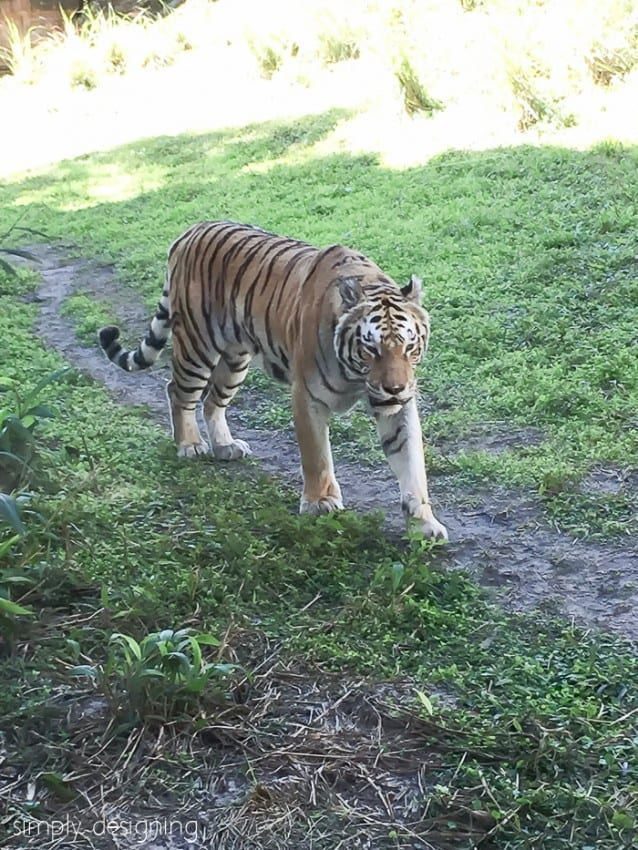 A Tiger in the Maharaja Jungle Trek at Animal Kingdom