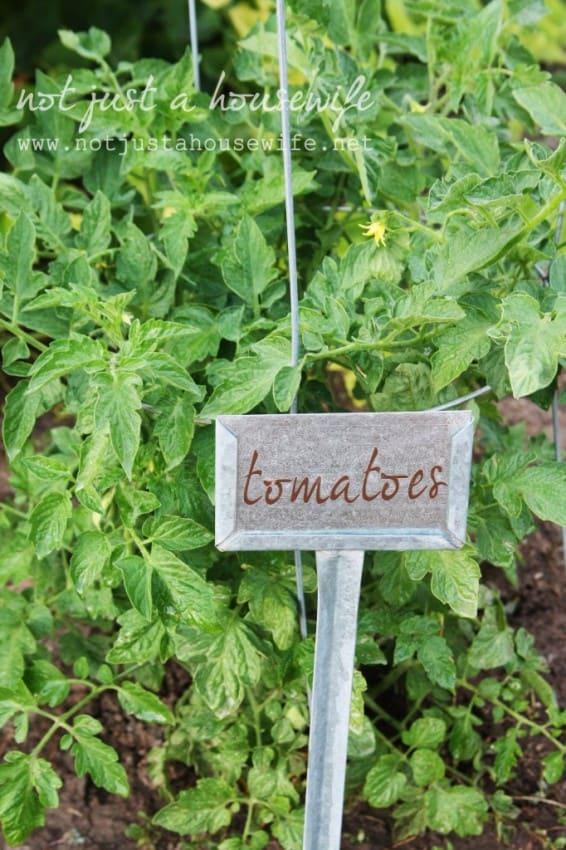 garden-tomotoes-682x1024