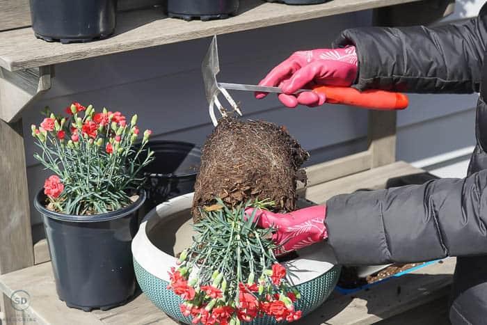 loosen roots on flower plant