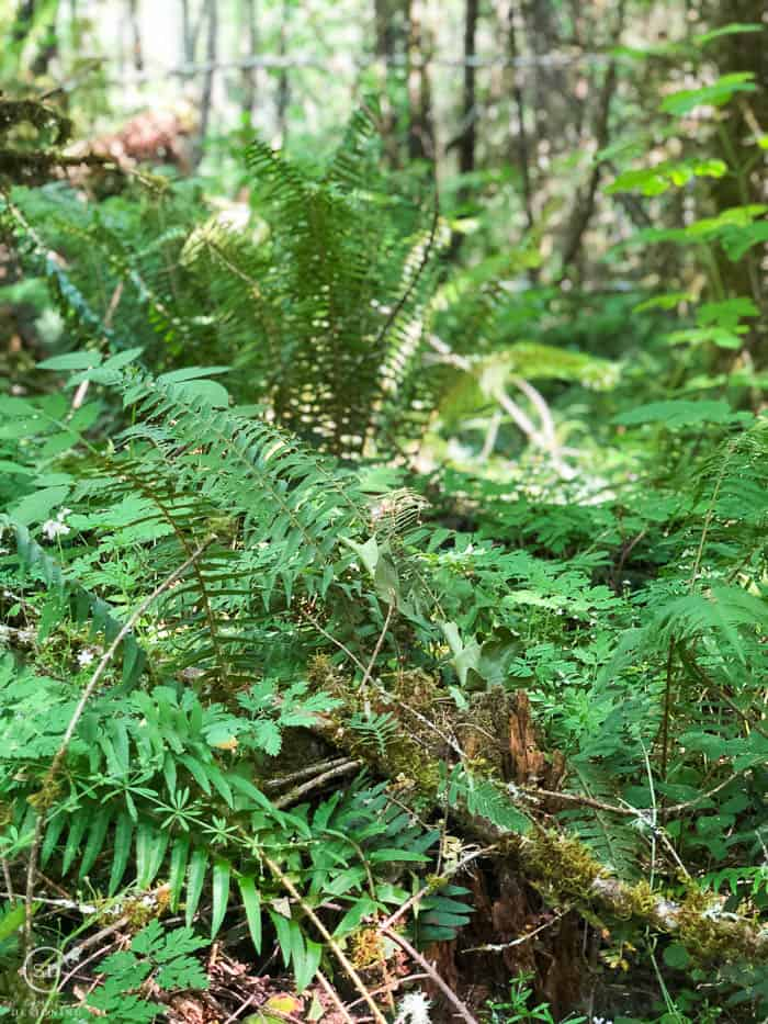 picture of ferns naturally growing in the forest