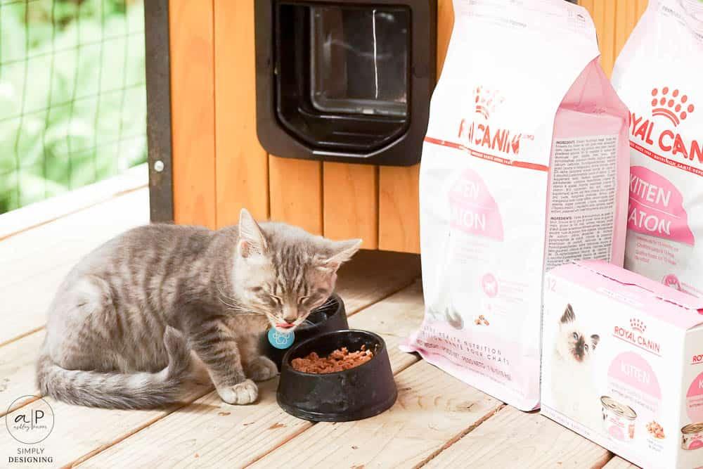kitten eatting food